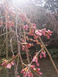 しだれ桜2014.3.15①