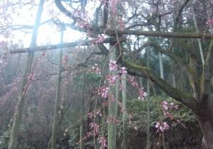 しだれ桜3月17日午前8時no2