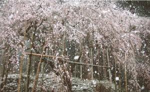 79_雪桜(田の頭枝垂れ桜)