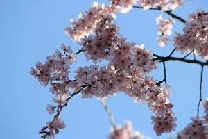 しだれ桜14.3.21②小