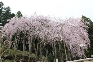 しだれ桜14.3.20④