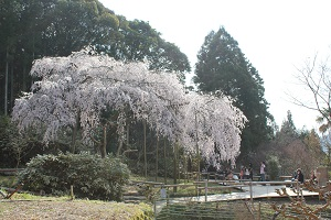 しだれ桜14.3.24②小