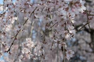しだれ桜14.3.24④小