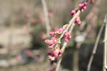 しだれ桜14.3.11