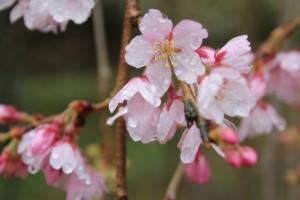 しだれ桜14.3.18③