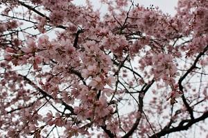 しだれ桜14.3.20②