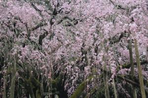 しだれ桜14.3.18