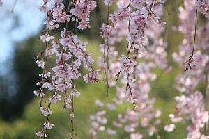 しだれ桜14.3.21④小