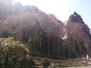 しだれ桜2014.3.15③