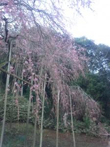 しだれ桜3月17日午前8時no3