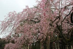 しだれ桜14.3.18②