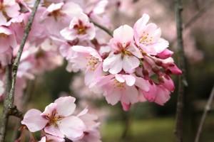 しだれ桜14.3.19③