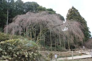 しだれ桜14.3.12.③