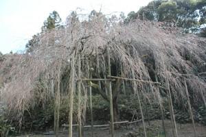 しだれ桜14.3.11.3