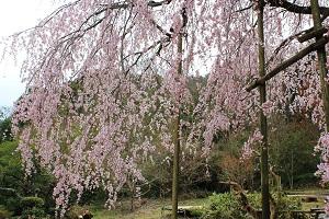 しだれ桜14.3.20③