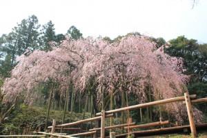 しだれ桜14.3.18④