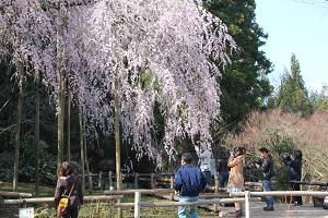 しだれ桜14.3.21小