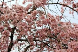しだれ桜14.3.19②