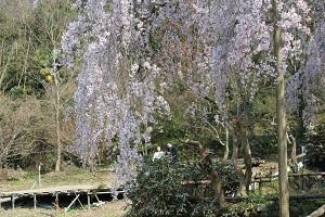 しだれ桜14.3.24③小