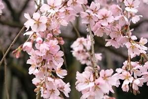 しだれ桜14.3.20