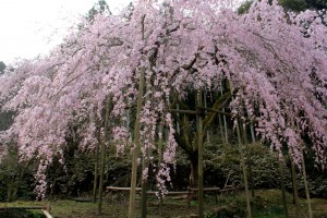 しだれ桜14.3.19