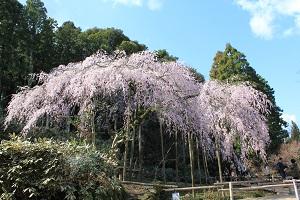 しだれ桜14.3.21③小