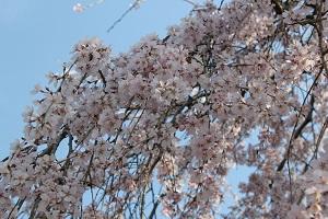 しだれ桜14.3.24小
